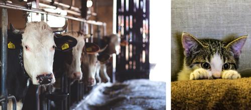 Pets are unique, Cattle is uniform.